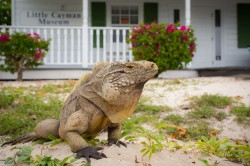 Sister Islands_Little Cayman_Sister Islands Rock Iguana_2_1