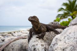 Rock Iguana on Beach